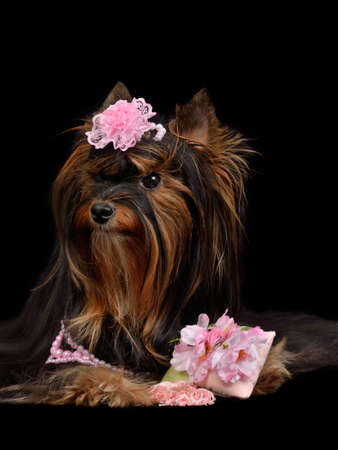 silky terrier: Glamour Yorkie dog with pink items, isolated on black