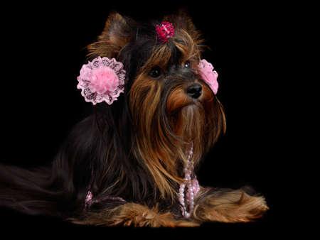 caras emociones: Perro yorkie con accesorios de color rosa, aislados en negro