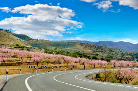 Pink Spring Almond Trees Blooms on both sides of a road, Valencia photo