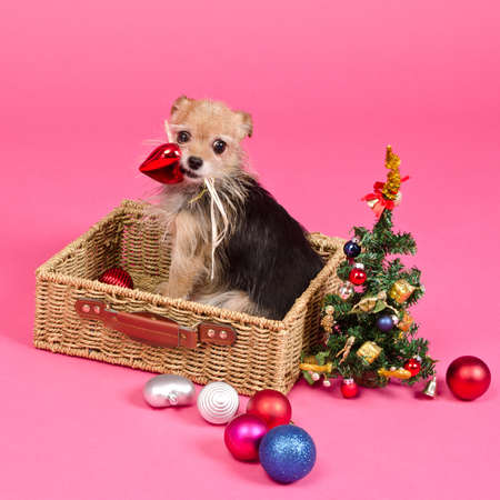 Christmas dog choosing balls to decorate New Year Tree, on pink background photo