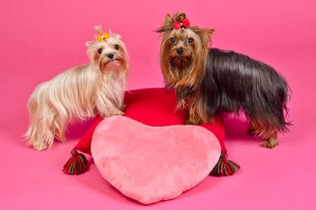 dog days: Dos perros Yorky con corazón rosa de San Valentín, tiro del estudio