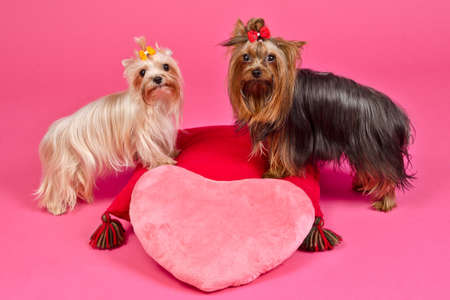 Two Yorky dogs with Valentines pink heart, studio shot