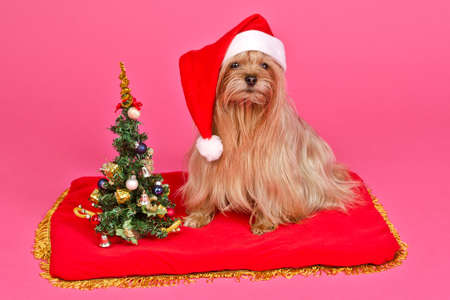 Santa Claus dog with Christmas Tree against pink background photo