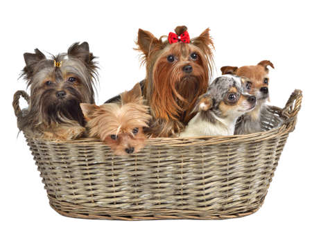 Five dogs in a basket, isolated on white background photo
