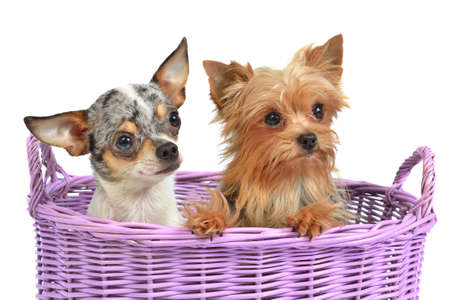 Cute dogs in a wicker basket, isolated on white Stock Photo