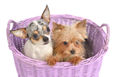 Chihuahua and Yorkshire Terrier puppies in a basket, isolated photo