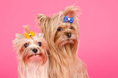 Two yourkshire terriers on pink  photo