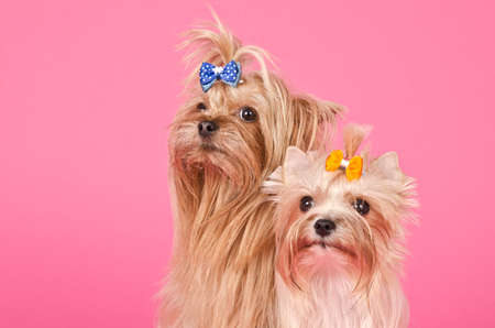 dog days: Dos yourkshire terriers