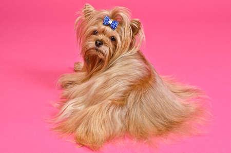 silky terrier: Yorkshire terrier lying against pink background Stock Photo