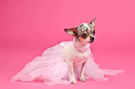chihuahua puppy: Elegant dog wearing fluffy dress and pink neckwear