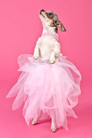 Chihuahua ballerina dancing, against pink background photo