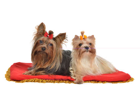 Yourkshire Terrier couple lying isolated on white background photo