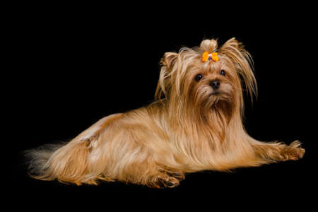 yorky: Golden Yorkshire terrier lying, isolated on black background