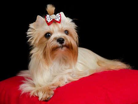 pompous: Golden Yorkshire Terrier portrait
