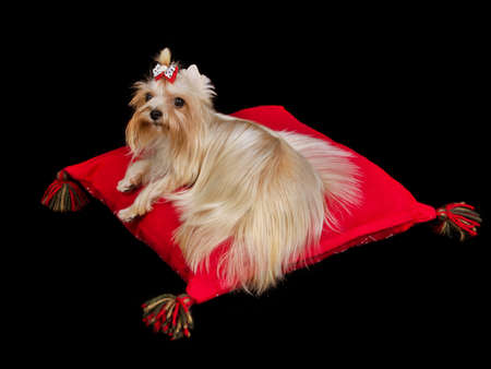 pampered pets: Royal dog lying on red cushion against black background