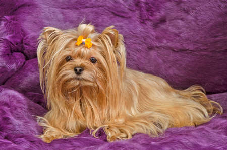 yorky: Golden Yorkshire terrier lying against purple furs Stock Photo