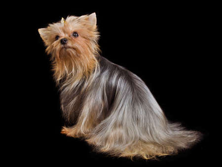 silky terrier: Yorkshire terrier lying isolated on black background Stock Photo