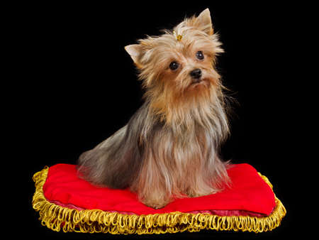 silky terrier: Royal dog on red cushion against black background Stock Photo