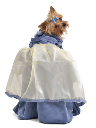 victorian lady: Cute dog with elegant dress, isolated