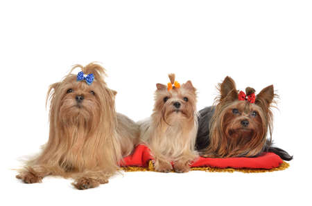 Group of Yorkshire Terrier dogs resting, isolated on white background Stock Photo - 11520323