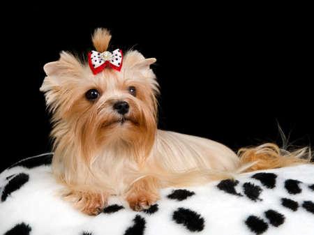Royal dog on the cushion against black background photo