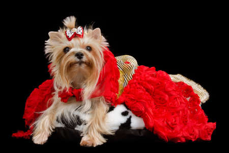 evening gowns: Yorkshire terrier with luxurious dress against black background