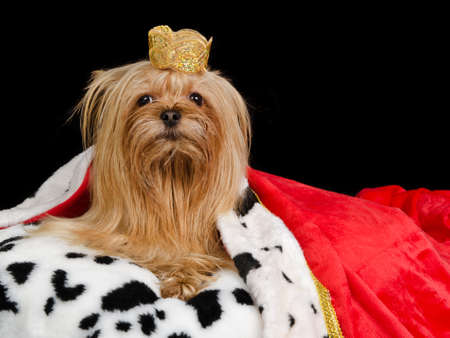 pampered pets: Royal dog with crown and gown, isolated