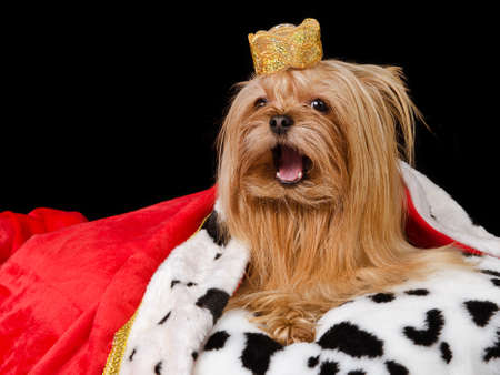 oration: Takling royal dog with crown and gown, isolated Stock Photo