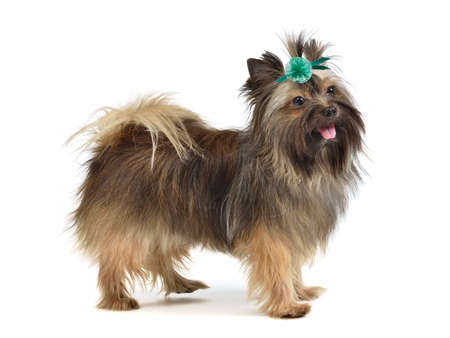 long silky hair: Playful yorkshire terrier puppy, isolated on white background Stock Photo