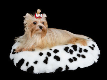 Yorkshire Terrier lying on spotted cushion against black photo