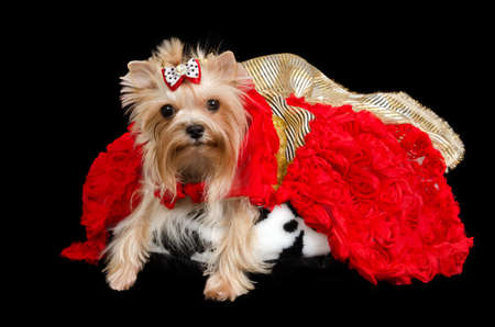 black bitch: Yorkshire terrier with luxurious dress against black background