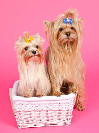 Two puppies girl bitch and boy male in the basket isolated photo