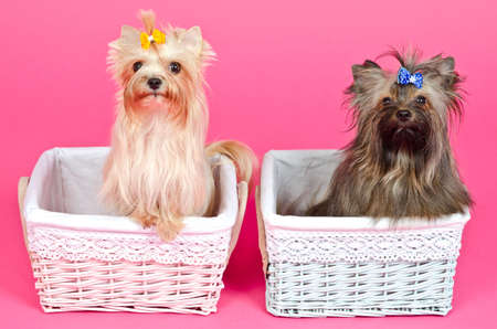 male grooming: Two puppies girl bitch and boy male peeking from baskets