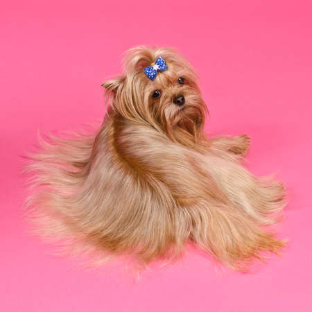 Yorkshire Terrier lying against pink background photo