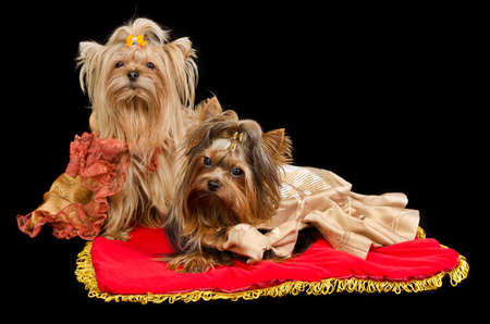frock coat: Two Yorkshire Terriers with royal dress on red cushion Stock Photo