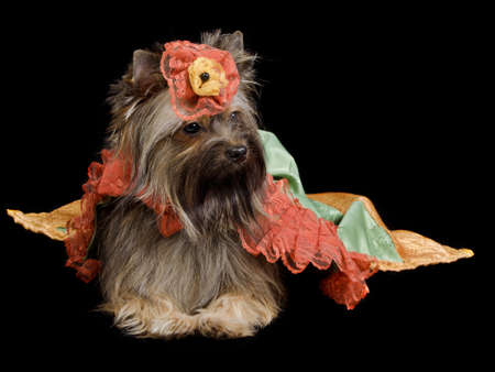 frock coat: Yorkshire Terrier with royal dress isolated