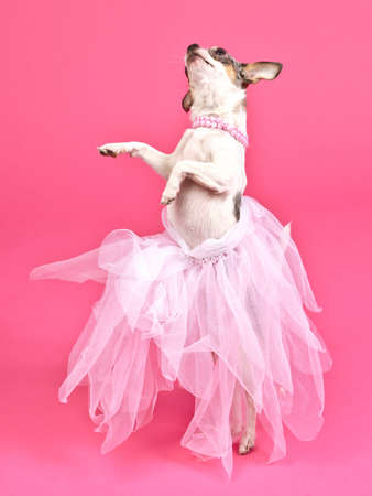 pamper: Dog with fluffy dress dancing, against pink background