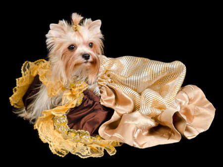 Yorkshire terrier with beautiful dress against black background photo