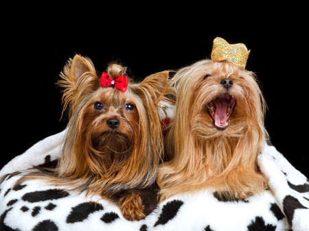 Two royal dogs with crown and gown, isolated Stock Photo - 11520358
