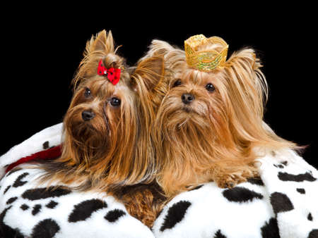pampered pets: Royal dogs with crown and gown, isolated Stock Photo