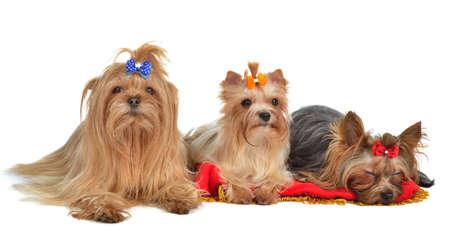 yorky: Grupo de perros Yorkshire Terrier en reposo, aislados en fondo blanco
