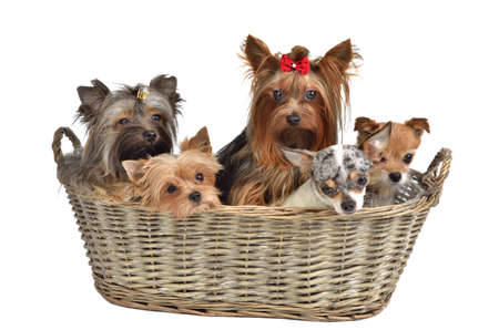 Five puppies in a basket, isolated on white background photo