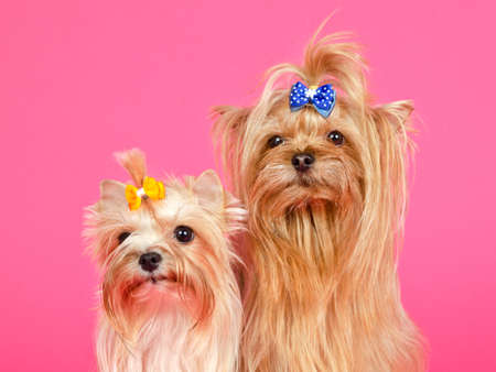 A couple of Yorkshire Terriers isolated portrait photo