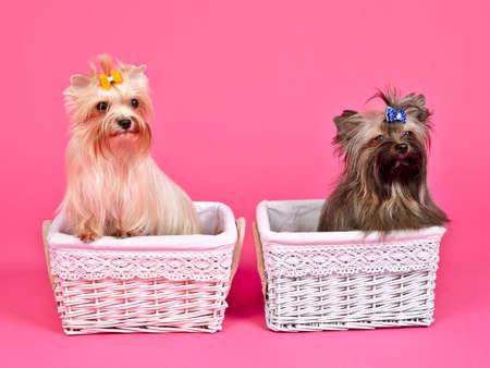 bitch: Dos cachorros de ni�a  ni�o de puta y  macho dentro de cestas de color rosa y azul