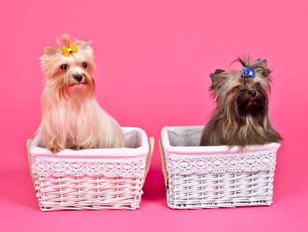 Two puppies girl bitch and boymale inside pink and blue baskets photo