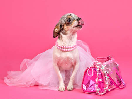 Tiny glamour dog with pink accessories isolated photo