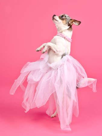 Elegant dog dancing isolated photo