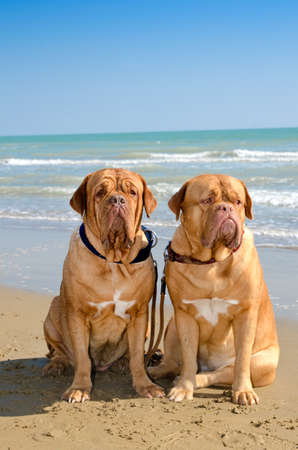 mastiff: Two dogs sitting next to each other at the sea shore