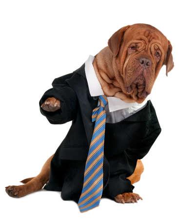 perros vestidos: Dogo de Burdeos vestida como un hombre de negocios Foto de archivo