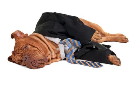 perros vestidos: Empresario perro cansado es tener un descanso en el suelo